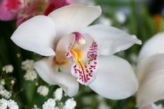 Weiß mit Purpur adert Orchideenblume Stockfotos
