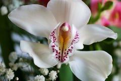 Weiß mit Purpur adert Orchideenblume Stockfotografie