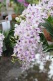 Weiß-purpurrote Orchideen Lizenzfreie Stockfotografie