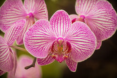 Weiß-purpurrote Orchideen Stockfotografie