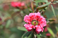 Weiß-rosa Blumenblühen Manuka-Myrte Lizenzfreie Stockfotos