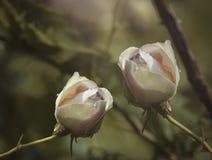 Weiß-rosa Rosen auf einem grün-gelben Hintergrund nach einem Regen mit Wassertropfen Nahaufnahme Ausführliche vektorzeichnung Stockfoto