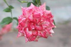 Weiß-rosa stieg Stockbild