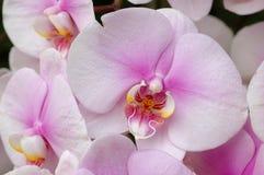 Weiß-rosafarbene Orchideen Lizenzfreies Stockfoto
