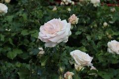 Weiß-rosafarbene Rosen Stockbild