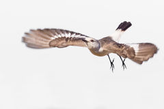 Weiß--rumped Fliegen Monjita (Xolmis-velatus) auf weißem Hintergrund Lizenzfreies Stockbild