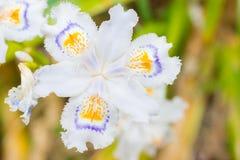 Weiß säumte die Iris ein, die im Garten Iris japonica blüht Stockfotografie