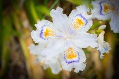 Weiß säumte die Iris ein, die im Garten u. im x28 blüht; Iris japonica& x29; Stockfotos