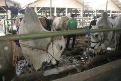 Weiß schüchtert Viehkuh ein Stockfoto