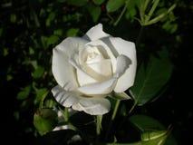 Weiß stieg in den Garten stockfoto