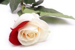 Weiß stieg mit dem roten Blumenblatt Lizenzfreie Stockfotos