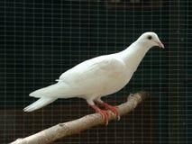 Weiß-Taube Stockfotografie