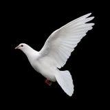 Weiß-Taube im Flug 11 Stockbilder