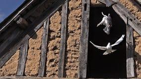 Weiß-Taube und Taube, die von der Scheune sich entfernen stock footage