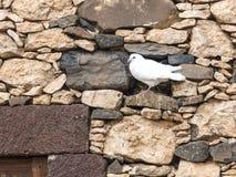 Weiß-Tauben-Schwarz-Weiß beschmutzt Lizenzfreies Stockbild