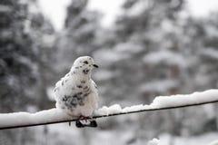 Weiß tauchte gegen Winterhintergrund Stockbilder