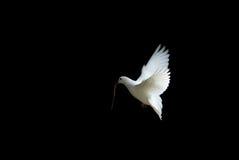Weiß tauchte im Flug Stockfoto