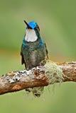Weiß-throated Berg-Edelstein, Lampornis-castaneoventris, humminbird von Costa Rica Stockbilder