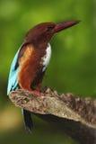 Weiß-throated Eisvogel, Eisvogel smyrnensis, exotisches Schweinskopfsülze und blauer Vogel, die auf der Niederlassung, Indien, As Stockbilder