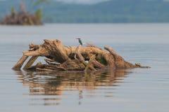 Weiß-throated Eisvogel sitzt auf dem Holz im Ozean stockfotos