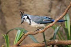 Weiß-throated Elster Jay stockfotografie