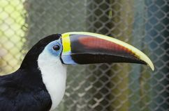 Weiß-throated Toucan lizenzfreie stockbilder