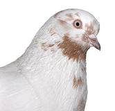 Weiß u. Brown-Taube Lizenzfreies Stockfoto