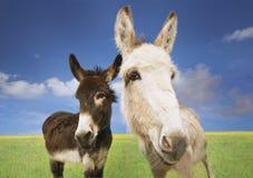 Weiß und Brown-Esel auf dem Gebiet Lizenzfreie Stockfotos