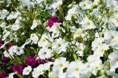 Weiß und Burgunder-Petunie blüht im Garten stockbilder