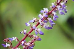 Weiß und Flieder farbige tropische Blume Stockfotos