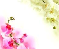 Weiß- und pinckorchideenblumen, Sommerhintergrund Lizenzfreie Stockfotos