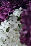Weiß und Purpur Lizenzfreie Stockbilder