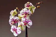 Weiß und purpurrote blühende Orchidee Lizenzfreies Stockbild