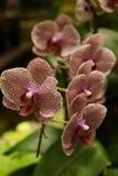 Weiß und Rot punktierte Orchidee stockbild
