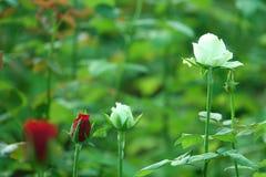 Weiß- und Rotrose stockfotografie
