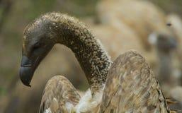 Weiß unterstützter Geier - Nationalpark Kruger Stockfoto