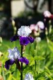 Weiß-violette Irisblume, die auf Frühling im Garten blüht Stockfotos