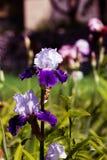 Weiß-violette Irisblume, die auf Frühling im Garten blüht Lizenzfreies Stockfoto