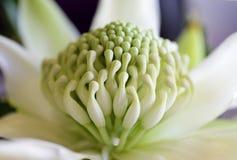 Weiß Waratah - Wirrimbirra Stockfotografie