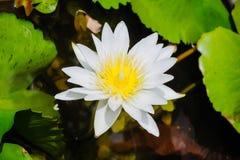 Weiß waterlilly Stockbild