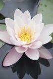 Weiß waterlily Stockbild