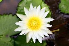 Weiß waterlily Lizenzfreie Stockfotografie