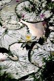 Weiß waterlily im Sonnenlicht lizenzfreies stockbild