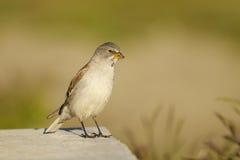 Weiß-winged Snowfinch oder Snowfinch, Montifringil Lizenzfreies Stockfoto