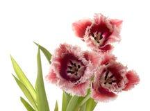 Weiß - zacken Sie eine Tulpe aus stockfoto