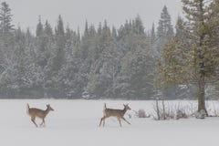 Weiß zwei band die Rotwild an, die über Eis und See und Schnee in wi laufen lizenzfreie stockfotografie