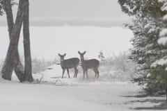 Weiß zwei band die Rotwild an, die auf gefrorenem Ufer vom Huronsee stehen und lizenzfreie stockbilder