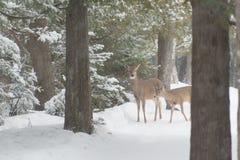 Weiß zwei band Rotwild im Wald und Schnee im Winter an, der betrachtet stockbilder