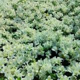 Weißbuch-Blume Stockfotos