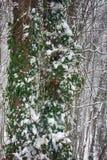 Weißbuche-Holz im Winter, Bäume bedeckt mit epiphytes, Lianen und Schneeregen stockbilder